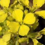 bach bloesem mustard - herik