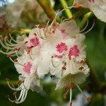 bach bloesem white chestnut - paardekastanje