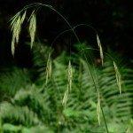 bach bloesem wild oat - wilde dravik